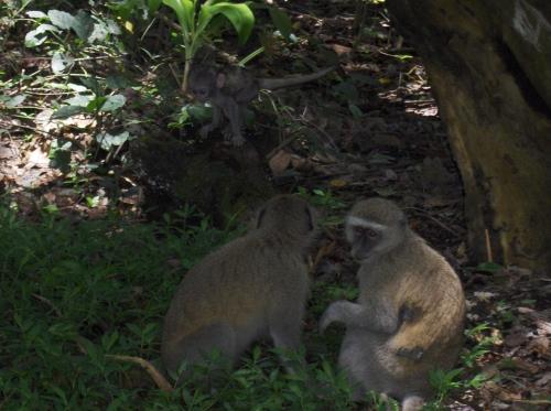 three monkeys in the trees victoria falls zimbabwe