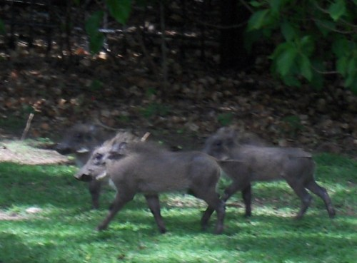 baby warthogs in grass at victoria falls hotels zimbabwe
