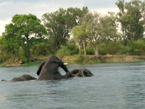 Chobe river three elephants playing in water Botswana