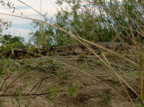 very big crocodile on dirt botswana okavango delta chobi river