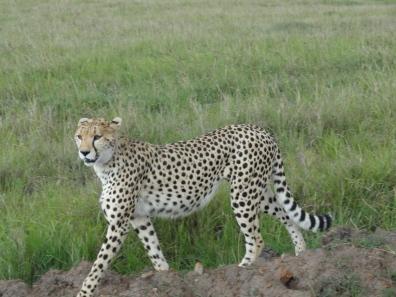 cheetah at ngorngoro crater tanzania