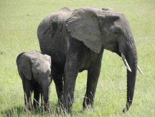 elephant and baby tanzania ngorongoro crater