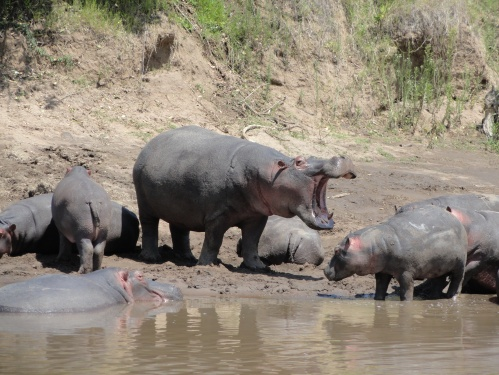 hippo family at ngorongoro crater kenya tanzania