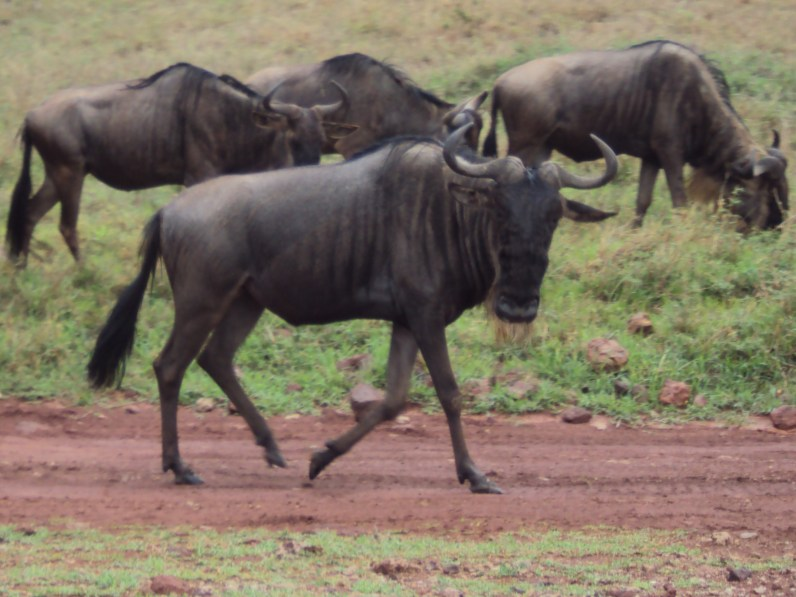 wildebeest walking at ngorongoro crater tanzania