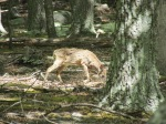 baby deer in woods