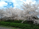 white flowering tree in northern virginia reston