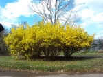 yellow flowering tree in northern virginia reston