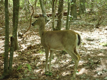 deer along the appalachian trail