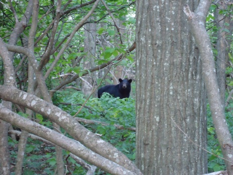bear in the woods appalachian trail