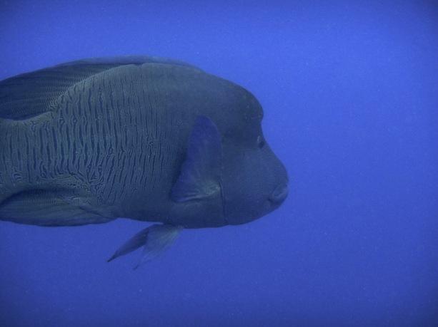 large wrasse fish in Australia