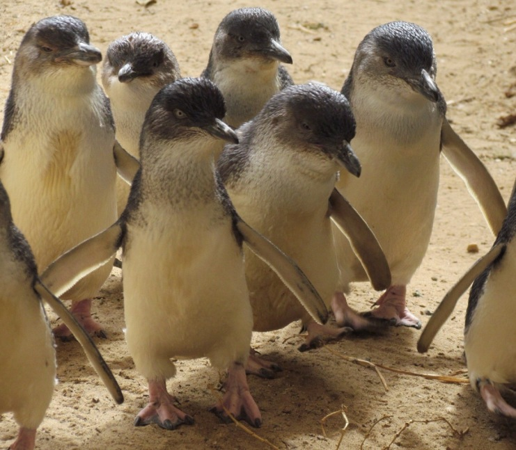 fairy penguins australia Adelaide