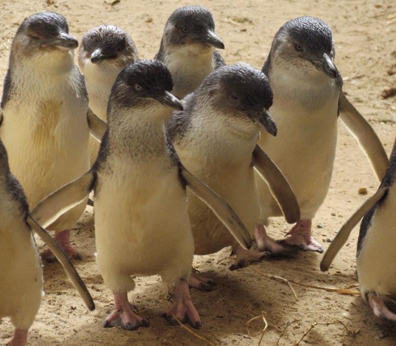 fairy penguins australia Adelaide