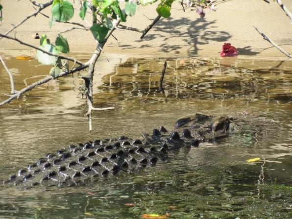 freshwater crocodiles Australia Daintree National Rainforest
