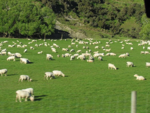 green field of sheep in New Zealand