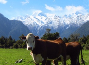 cow in green field with Mt Cook New Zealand in background