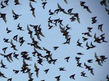 Bats, Cambodia