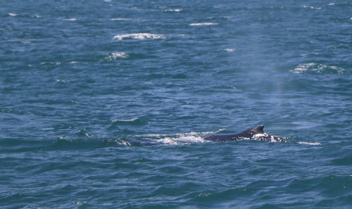 Iceland Humpbacked Whale