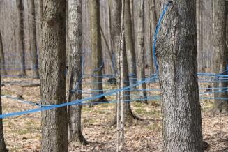 Tapping Trees Ottawa Canada