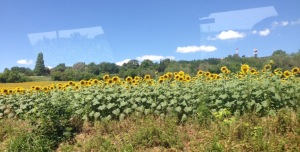 Sunflower field, San Marino