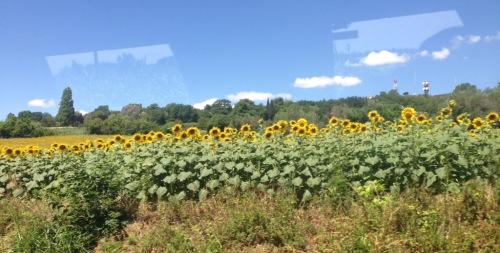 Sunflower field, San Marino