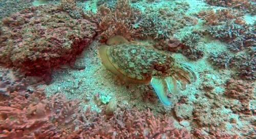 cuttlefish underwater picture oman scuba