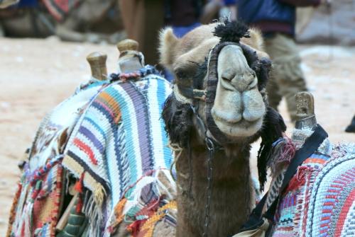 a camel at Petra, Jordan