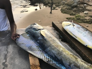 fishermen catch dorado dolphin fish tobago beach