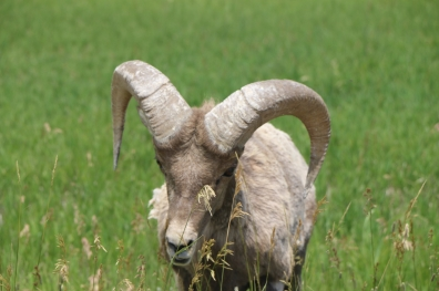 Bighorn Sheep at Badlands National Park