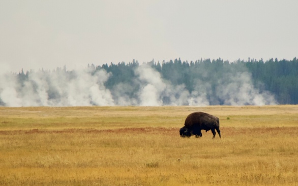 bison in front of steam geysers Yellowstone national park Wyoming